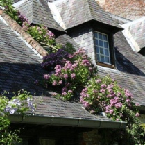 Rosiers grimpants Rosa 'Veilchenblau' sur les toits du château - Liaanroos Rosa 'Veilchenblau' op het dak van het kasteel - Rambling rose Rosa 'Veilchenblau' on the roof of the castle - Kletterrose Rosa 'Veilchenblau' auf dem Dach des Schlosses