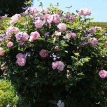 Rosa 'Celestial' + Clematis 'Arabella'