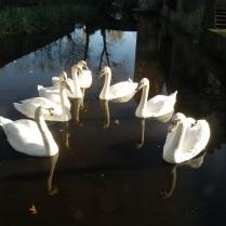 Cygnes -Zwanen - Swans - Schwäne